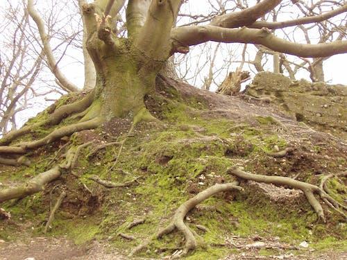 Безкоштовне стокове фото на тему «дерево, коріння»