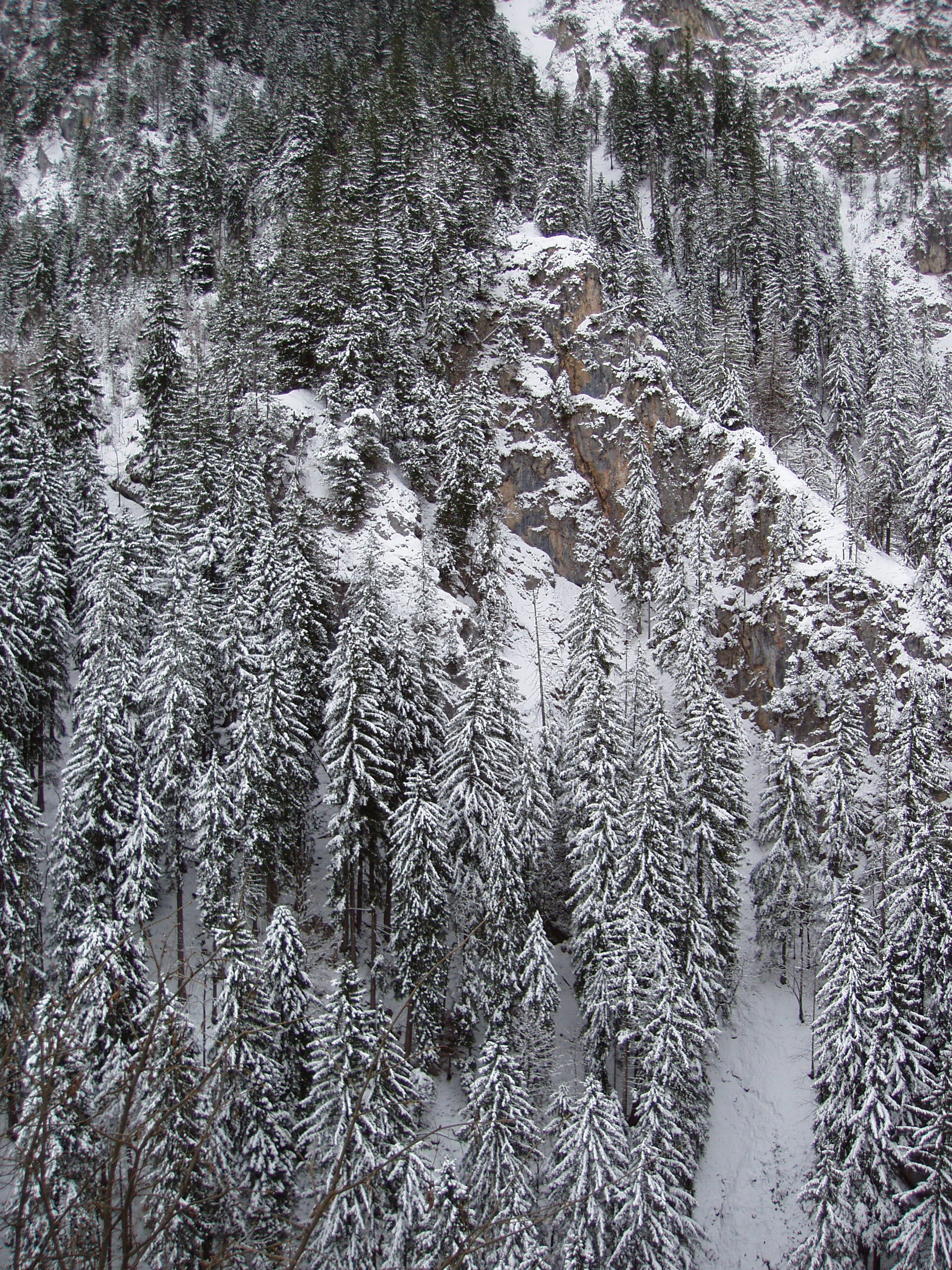 Photography of Conifers Covered with Snow