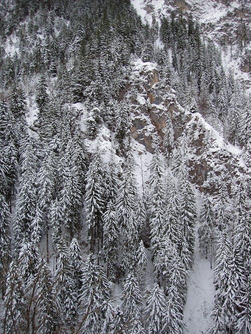 コールド, シーズン, のどか, モミの木の無料の写真素材