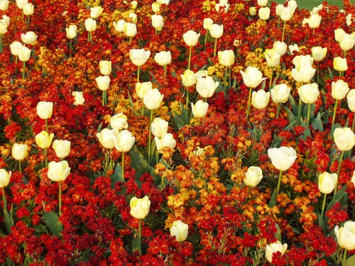 Free stock photo of flower field, flowers, red, tulips