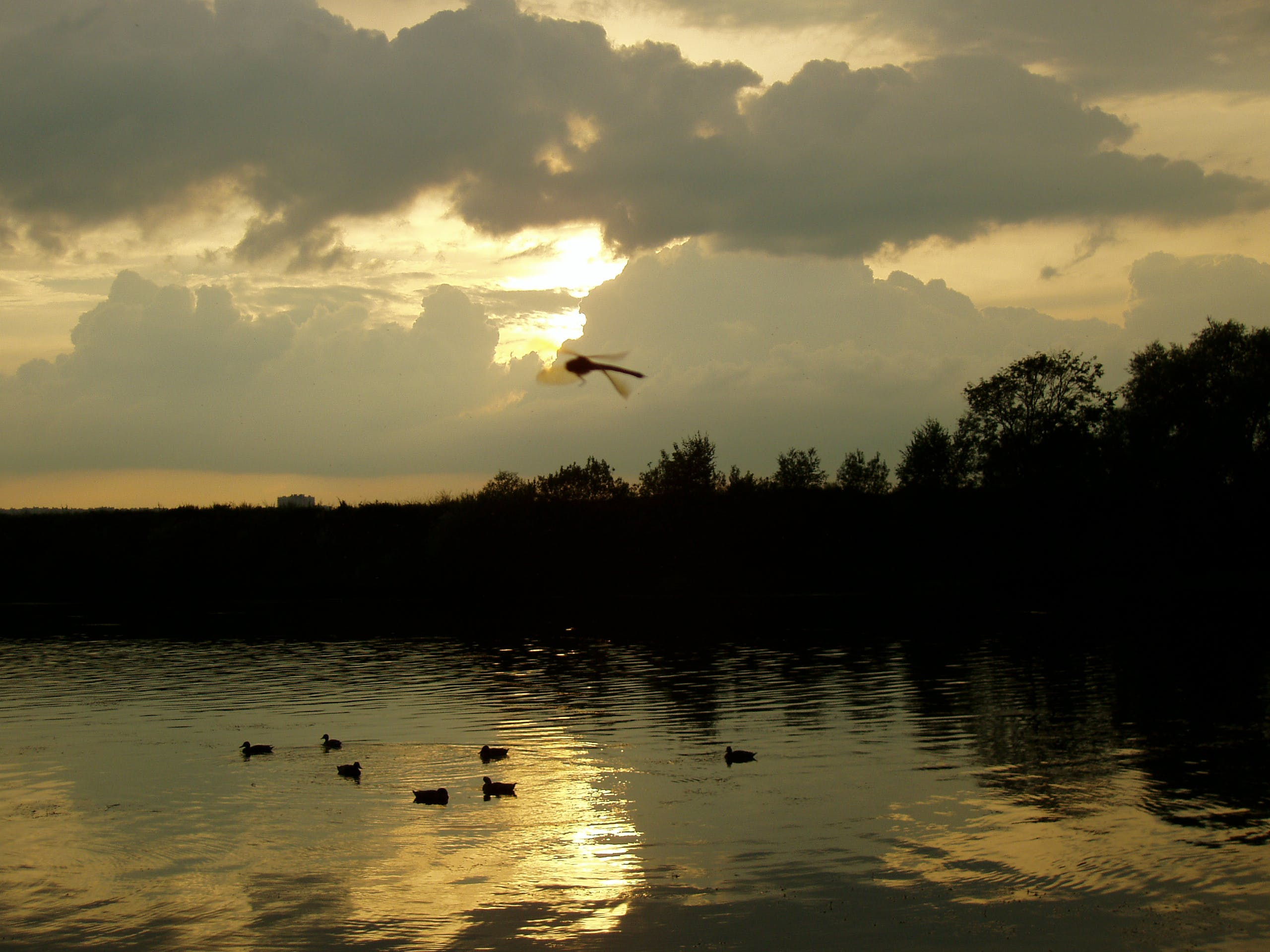 Free stock photo of dark, dragonfly, ducks, evening