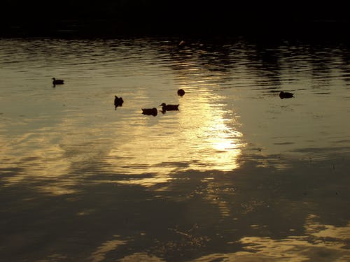 Free stock photo of dark, ducks, evening, sky reflection in water