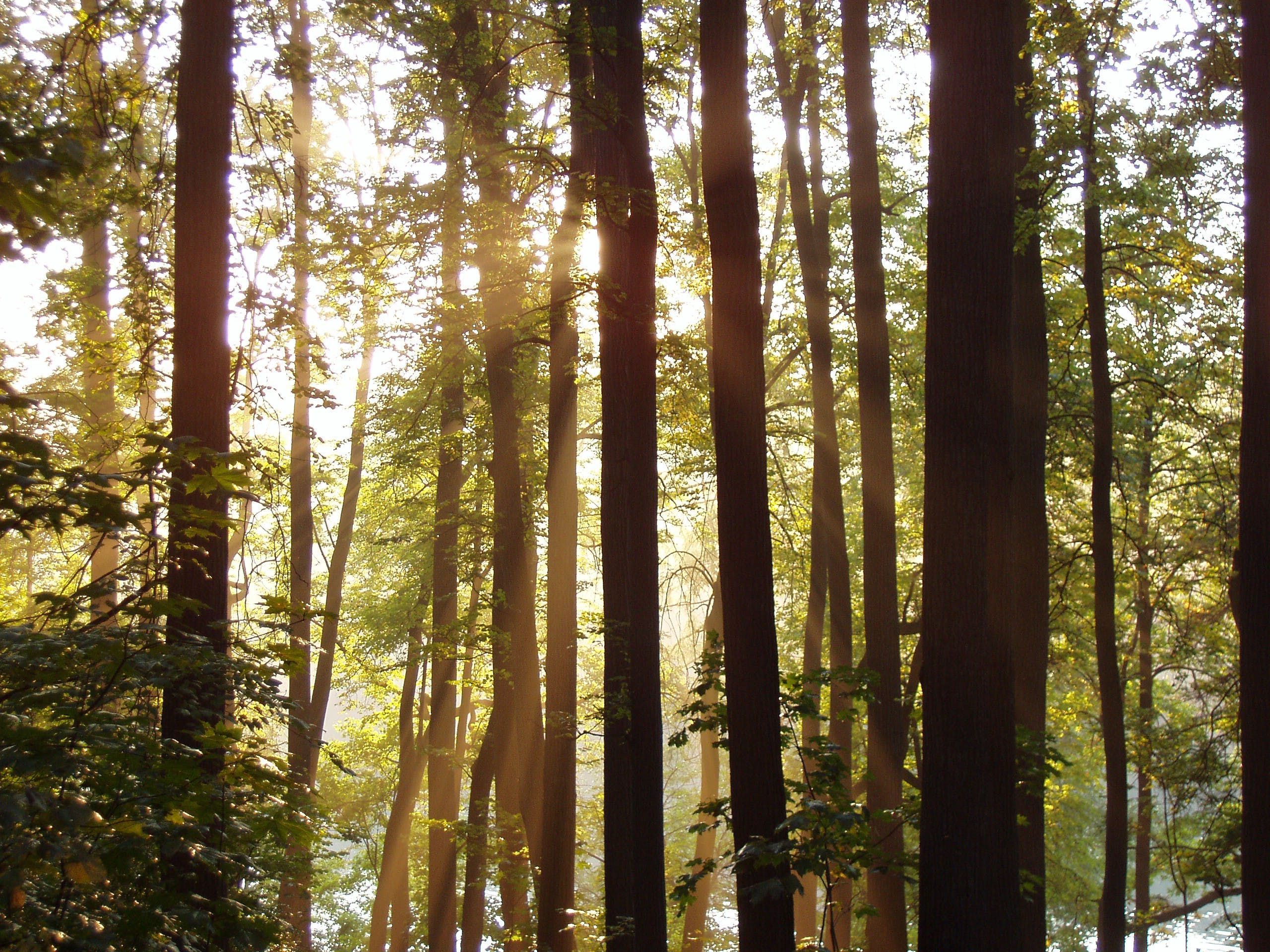 Free stock photo of forest, rays, sunlight, sunrays