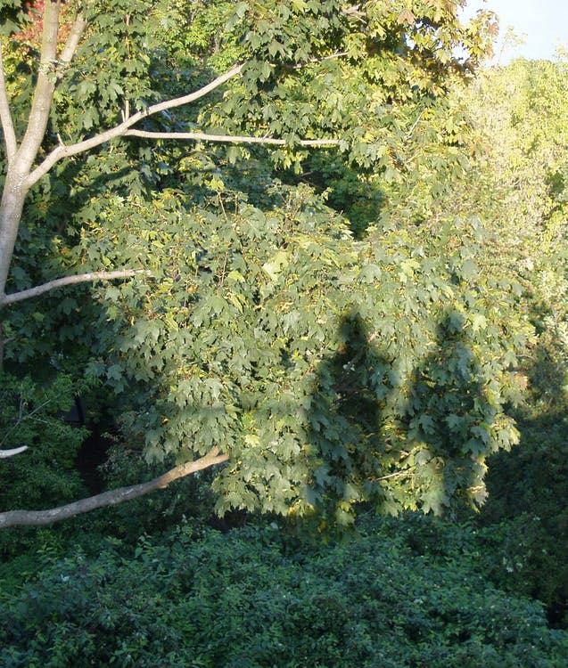 árbol, humano, humanos
