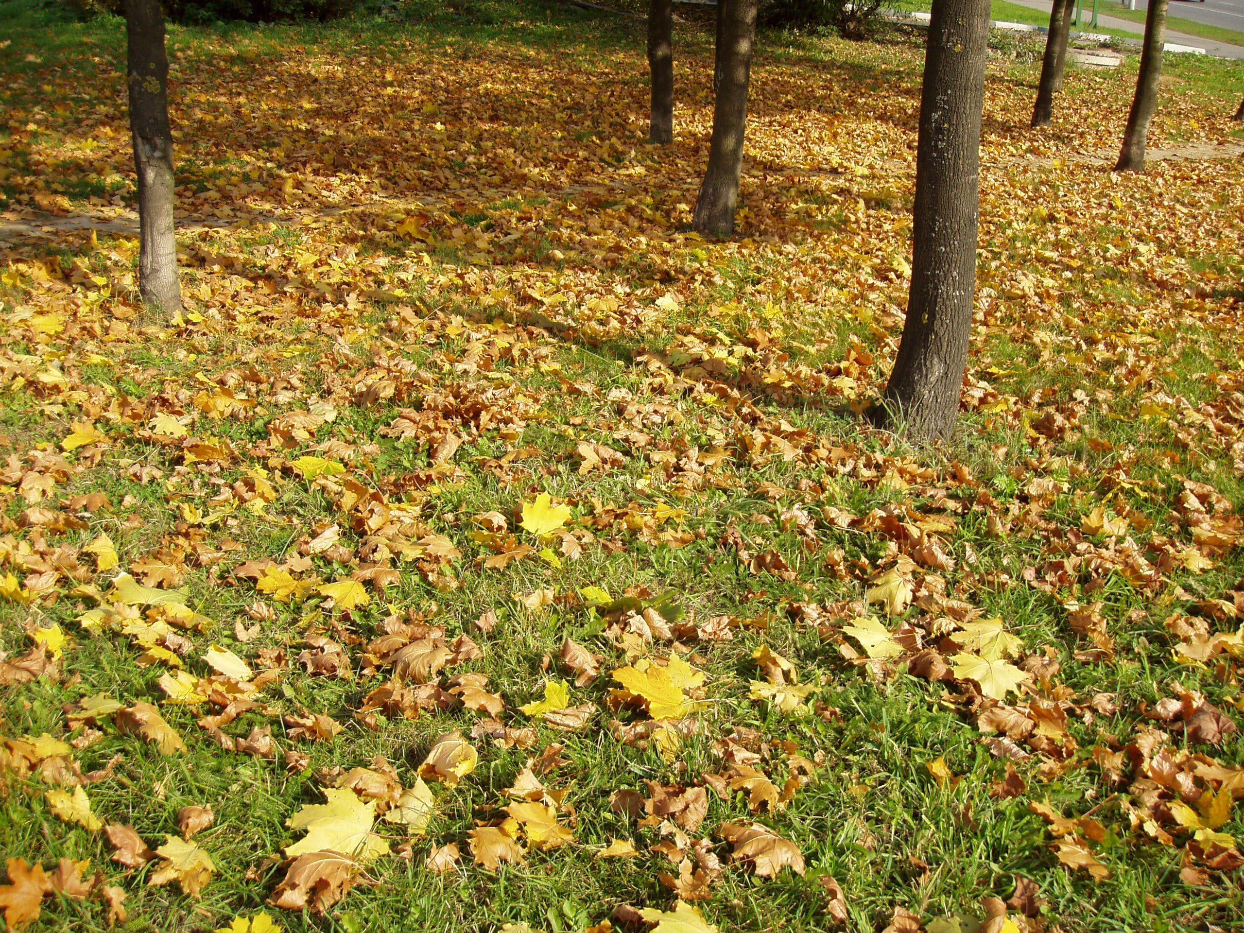 Free stock photo of dried leaves, grass, ground, park