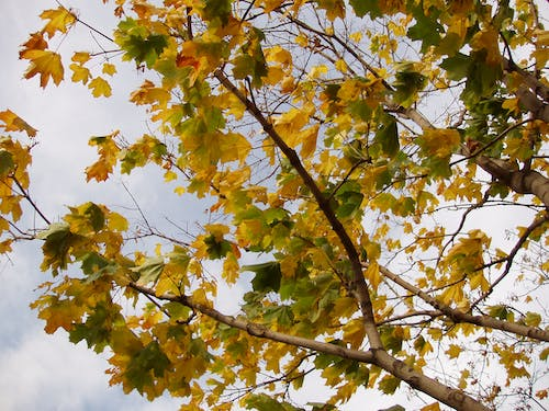 Free stock photo of fall leaves, maple, maple leaves, tree branches
