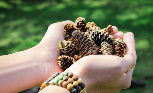 Безкоштовне стокове фото на тему «конуси хвойних порід, руки, соснові шишки, тримає»
