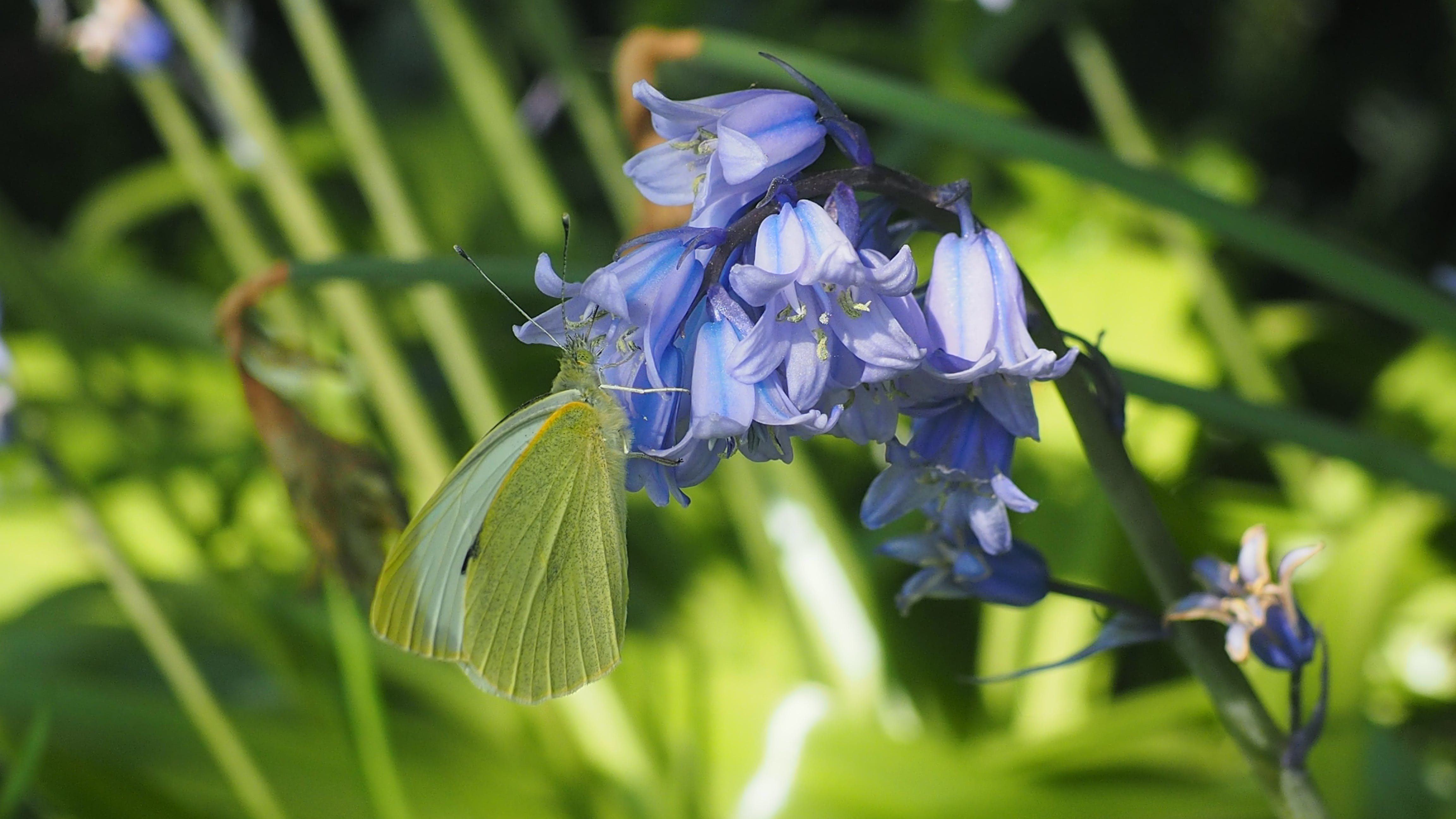 Free stock photo of bluebells, butterflies, butterfly, cabbage white