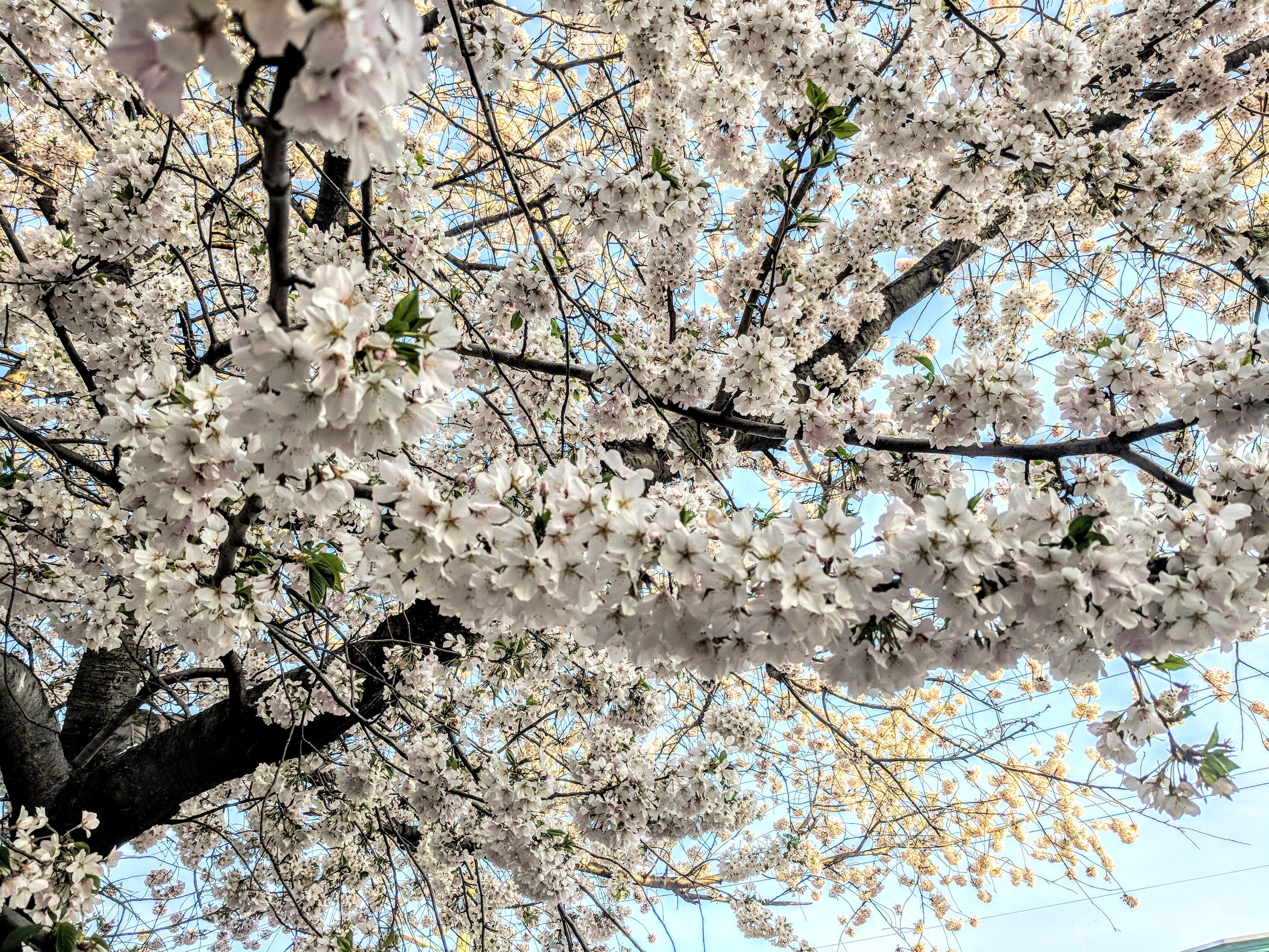 White Petal Tree