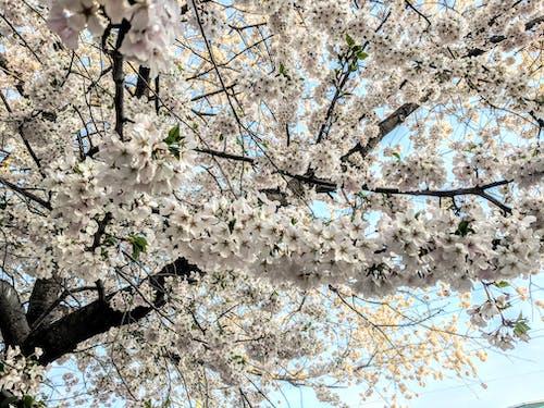 Ilmainen kuvapankkikuva tunnisteilla kirsikka, kukat, kukinta, oksa