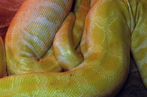 Free stock photo of albino, boa, constrictor, python