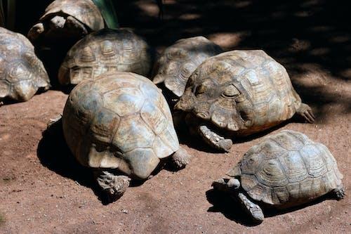 Free stock photo of leopard tortoise, reptiles, tortoise, tortoises