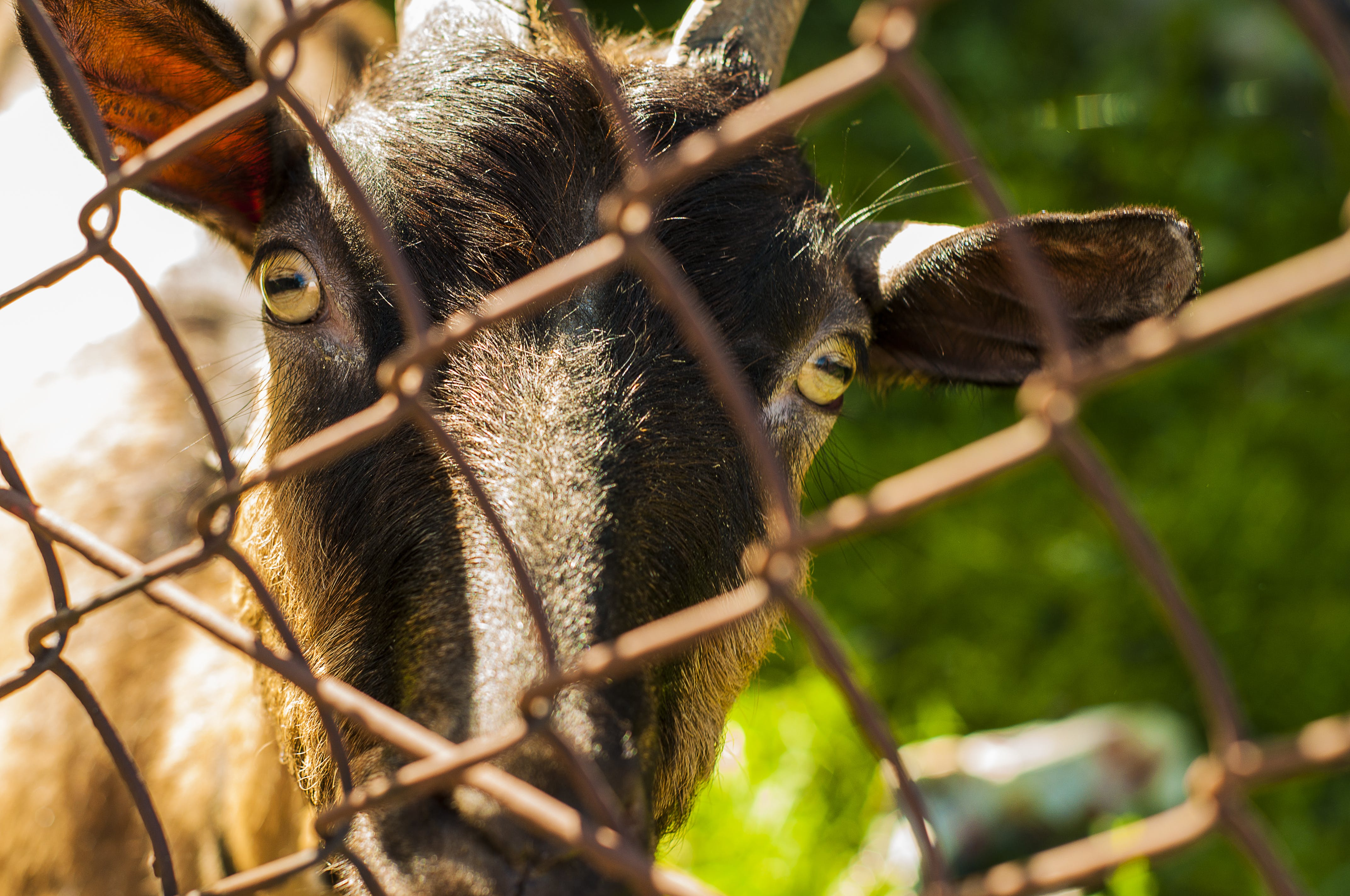 Close-up Photo of Brown Goat Beside Grey Cyclone Wire