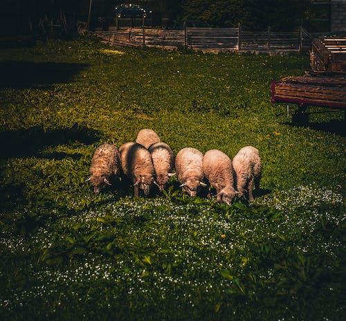 가축, 농경지, 농업, 농장의 무료 스톡 사진
