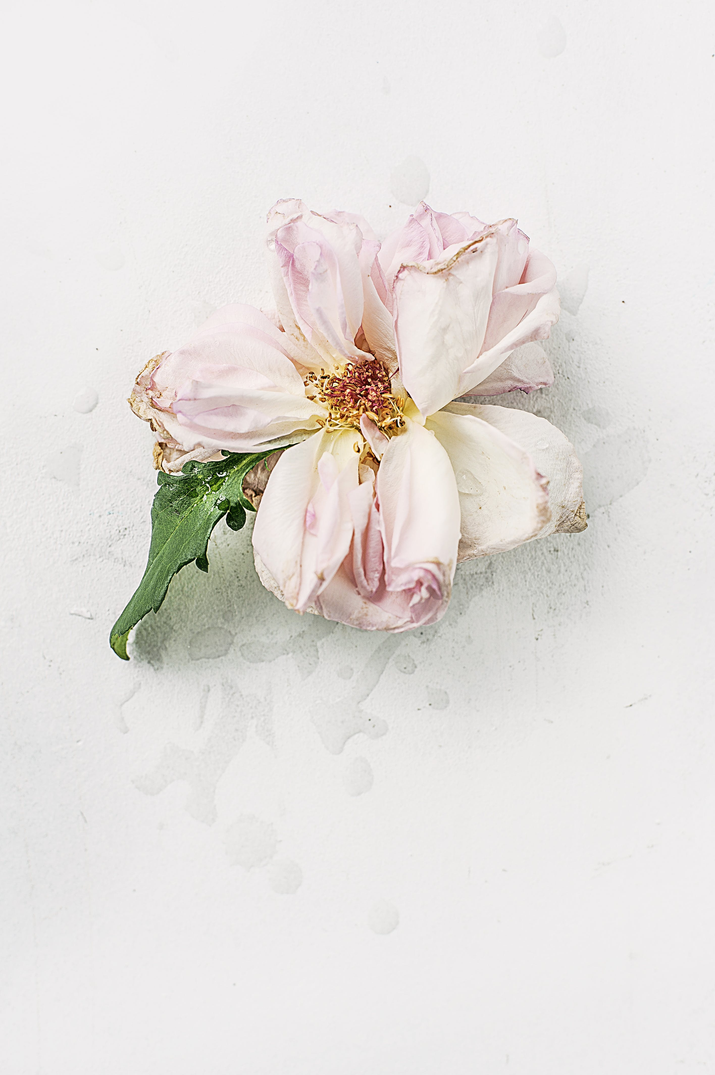 Pink Dried Flower