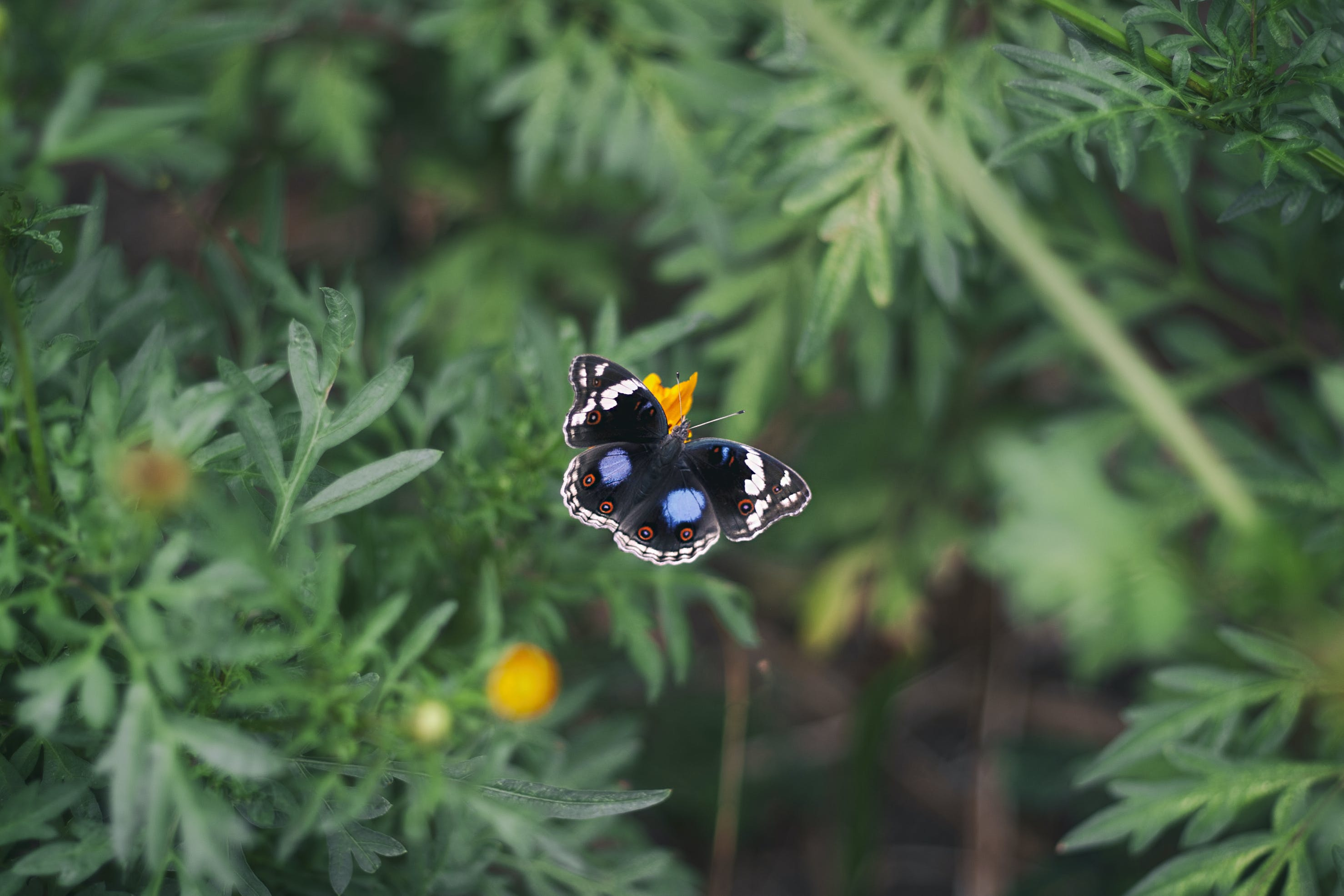 Black White and Blue Butterfly on Yellow Flower