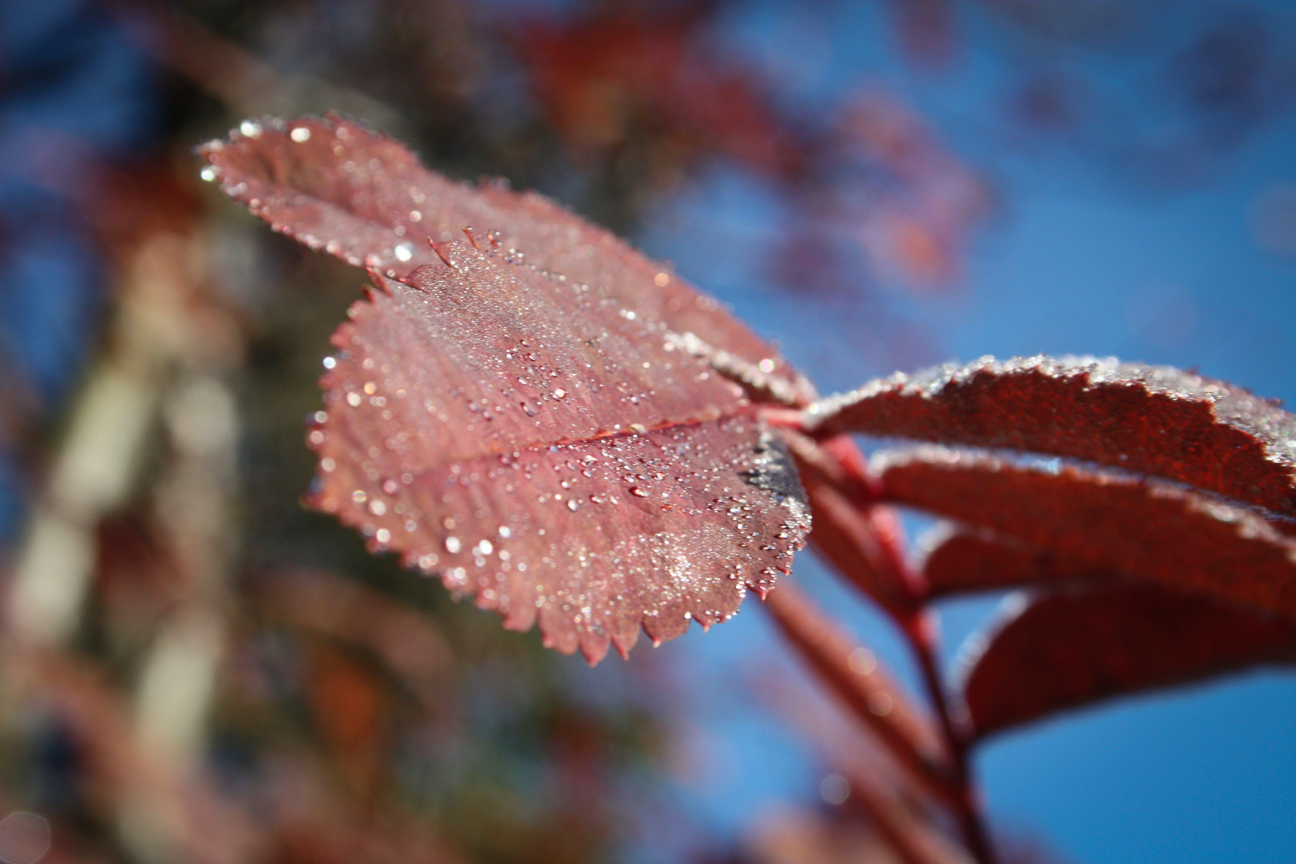 Close Up Image of Red Color of Leaf