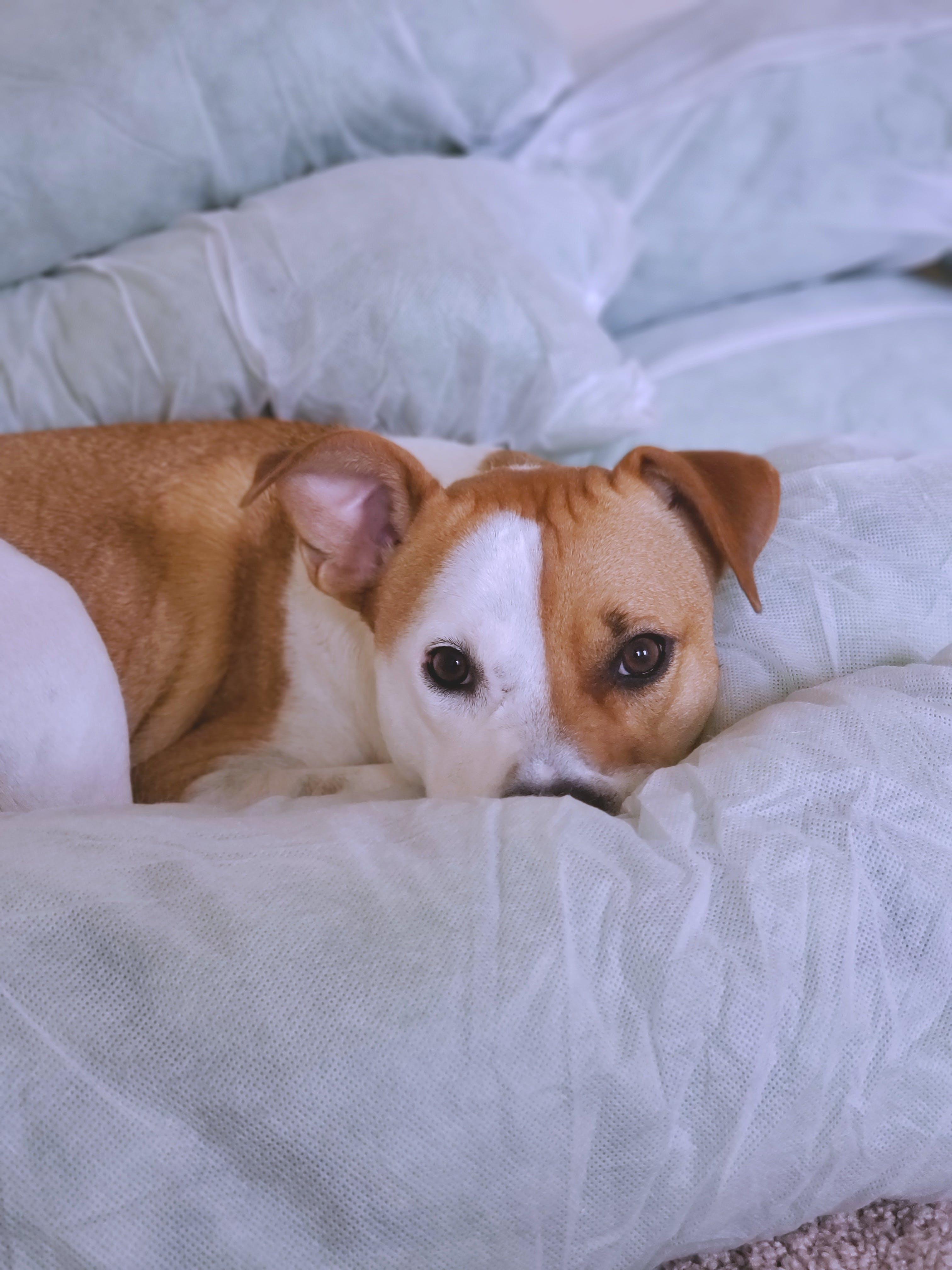 Photo of Large Short-coated Tan and White Dog Lying on White Surface