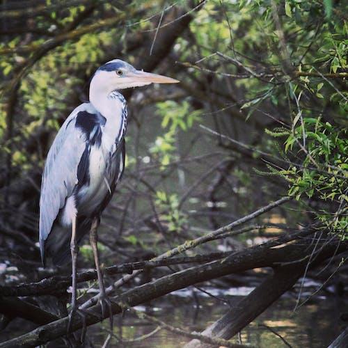 Δωρεάν στοκ φωτογραφιών με #heron #bird #nature #wildlife