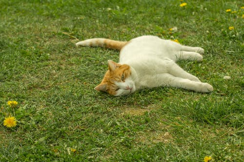 White and Orange Tabby Cat Lying on Grass