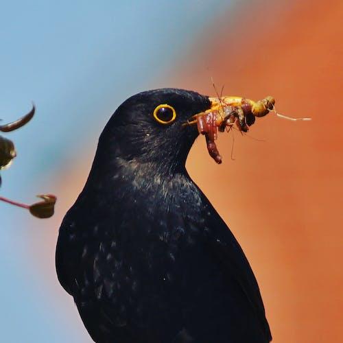 Δωρεάν στοκ φωτογραφιών με #blackbird #bird #nature #wildlife