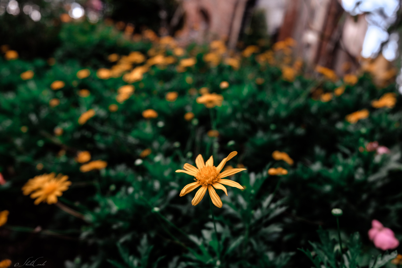 Foto d'estoc gratuïta de flors, fotografia de natura, groc, natura