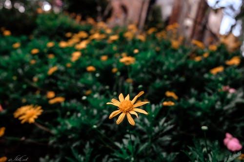 Immagine gratuita di fiori, fotografia della natura, giallo, natura