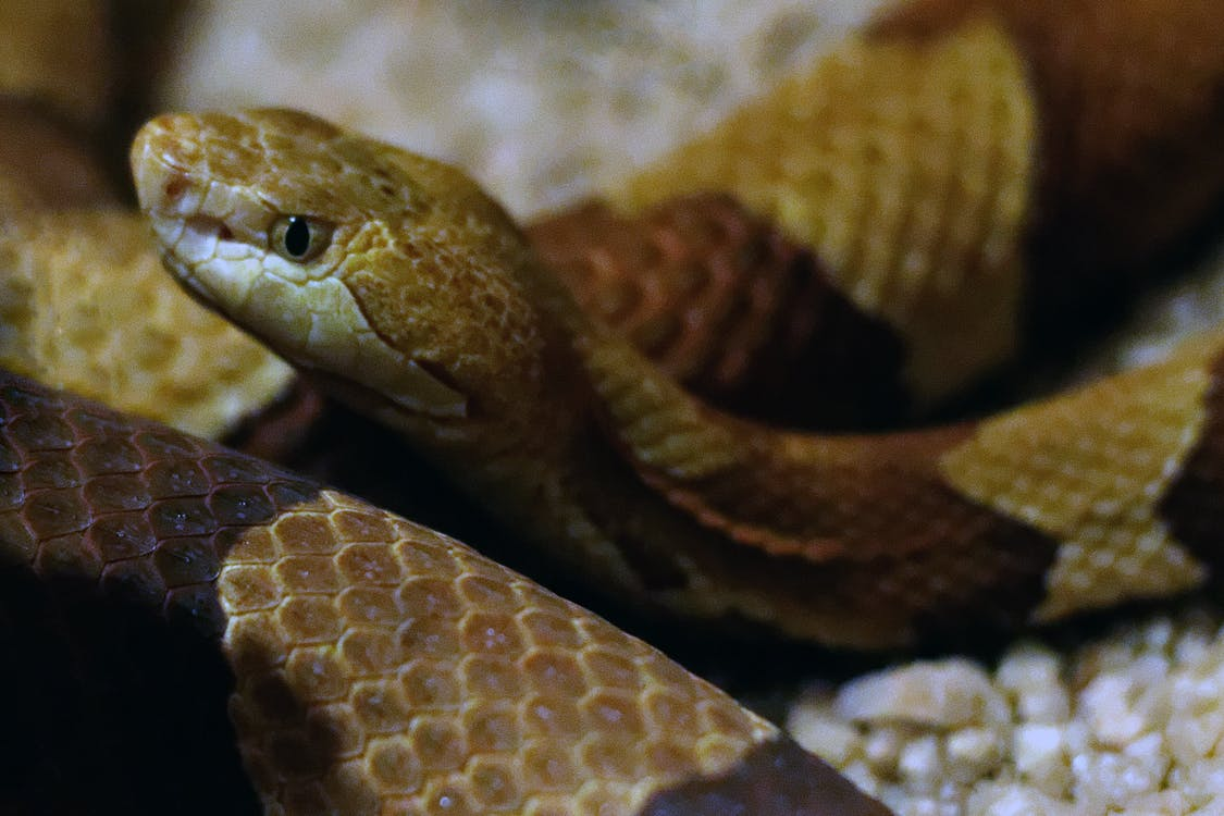 copperhead, copperhead snake, snake