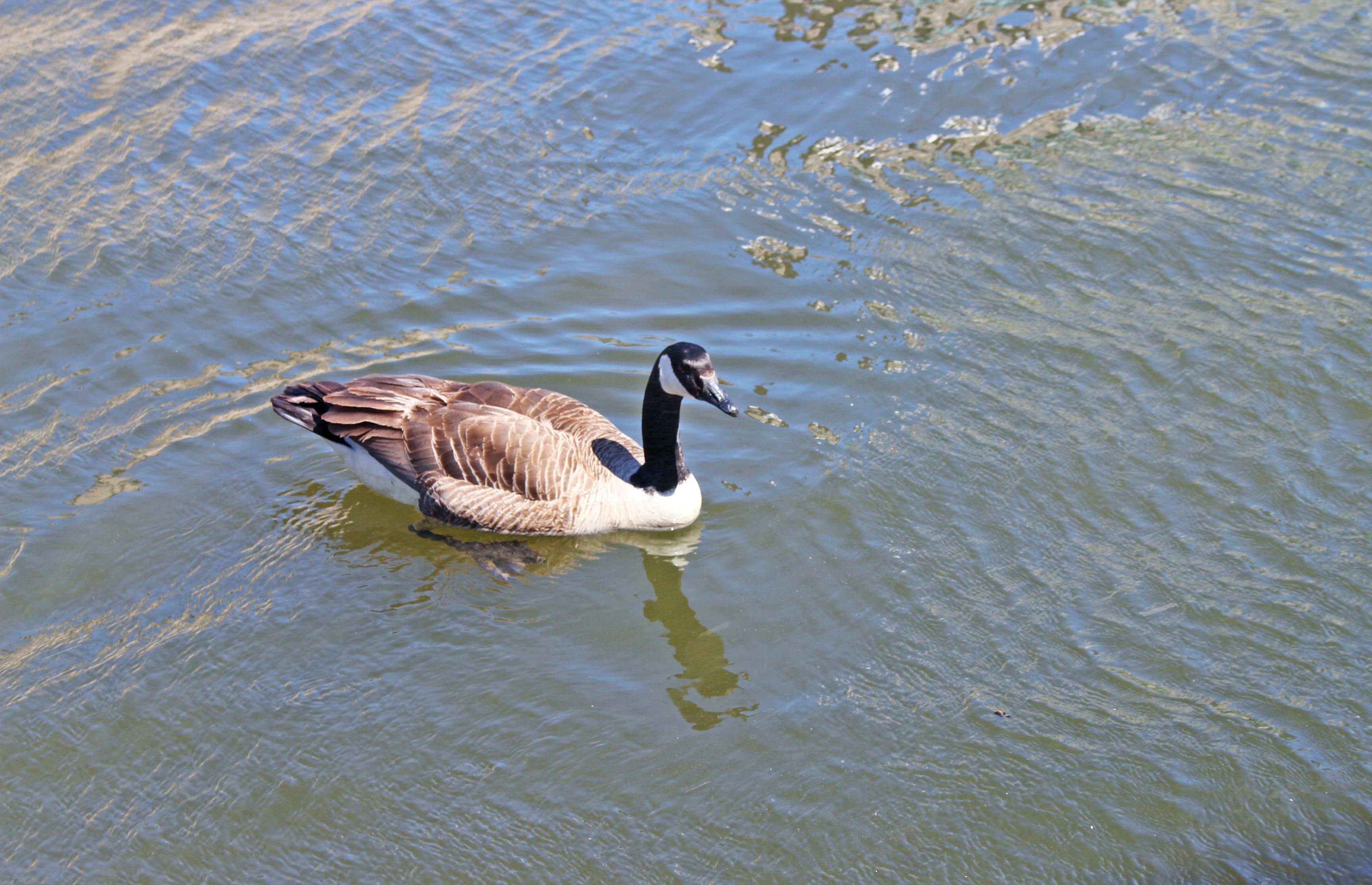 Free stock photo of bird, duck, nature, river
