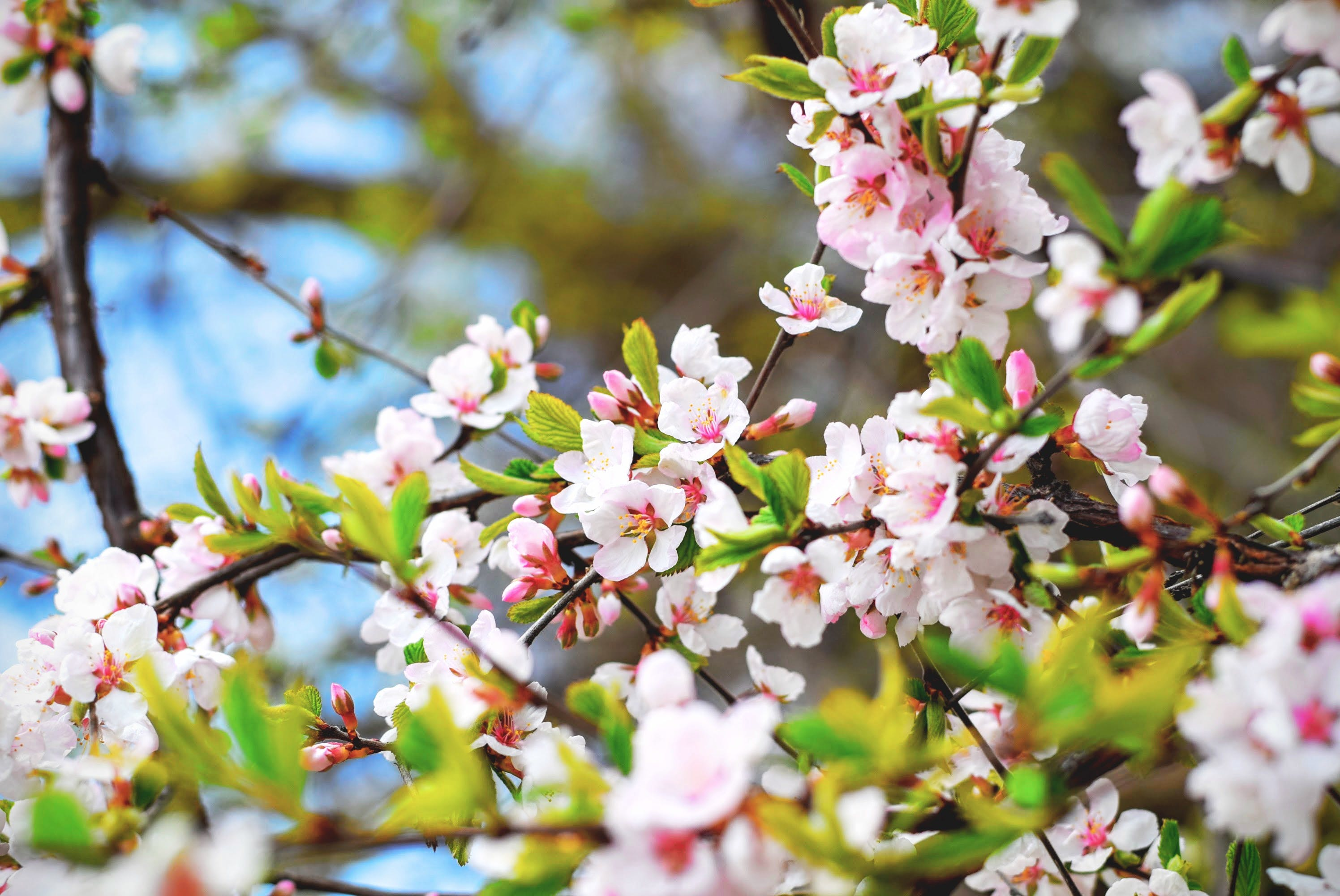 Ingyenes stockfotó ág, cseresznyevirág, fa, növényvilág témában