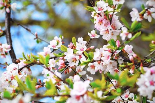 Immagine gratuita di albero, bocciolo, fiore, fiore di ciliegio