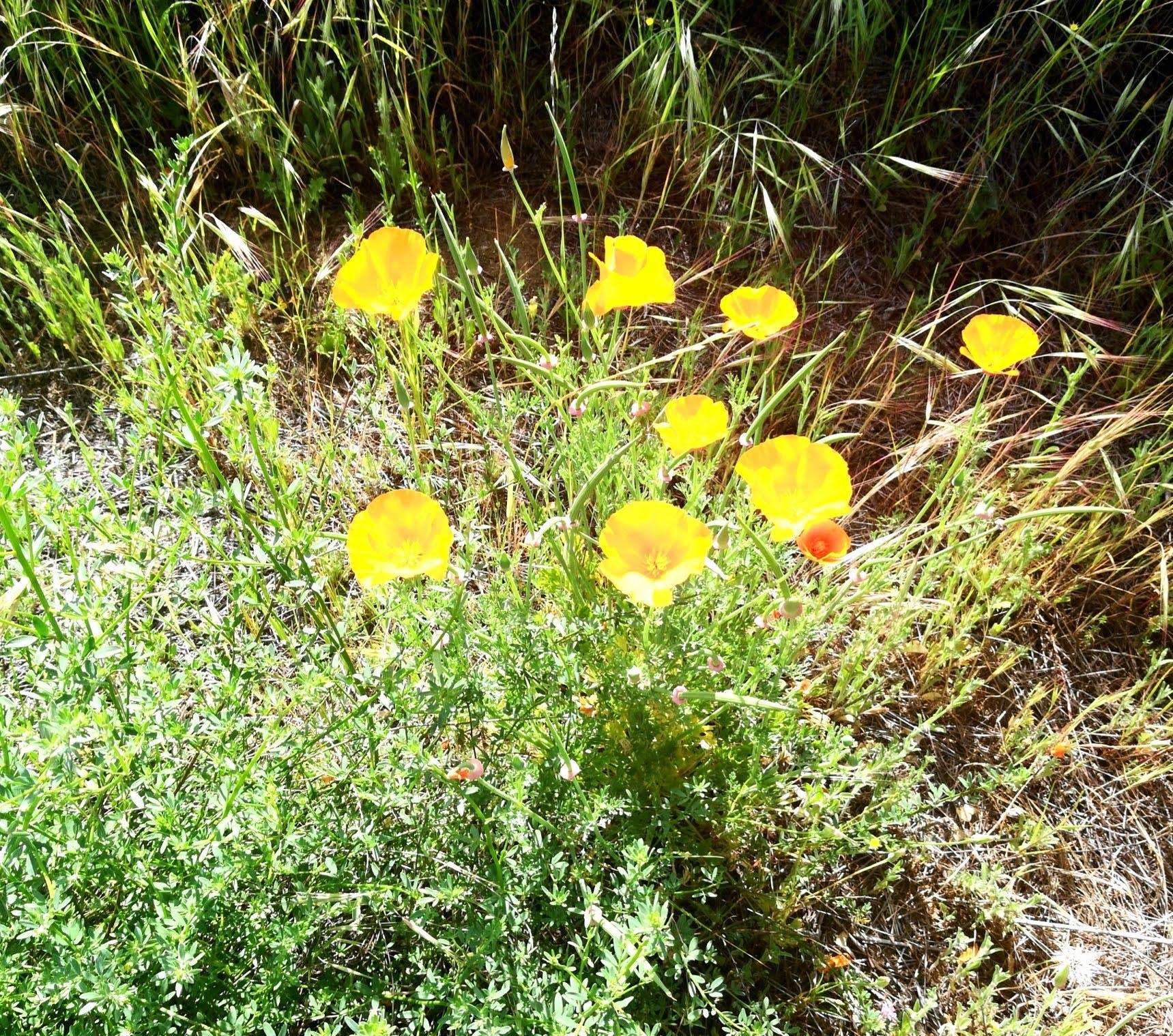 nature, poppy, poppy flower