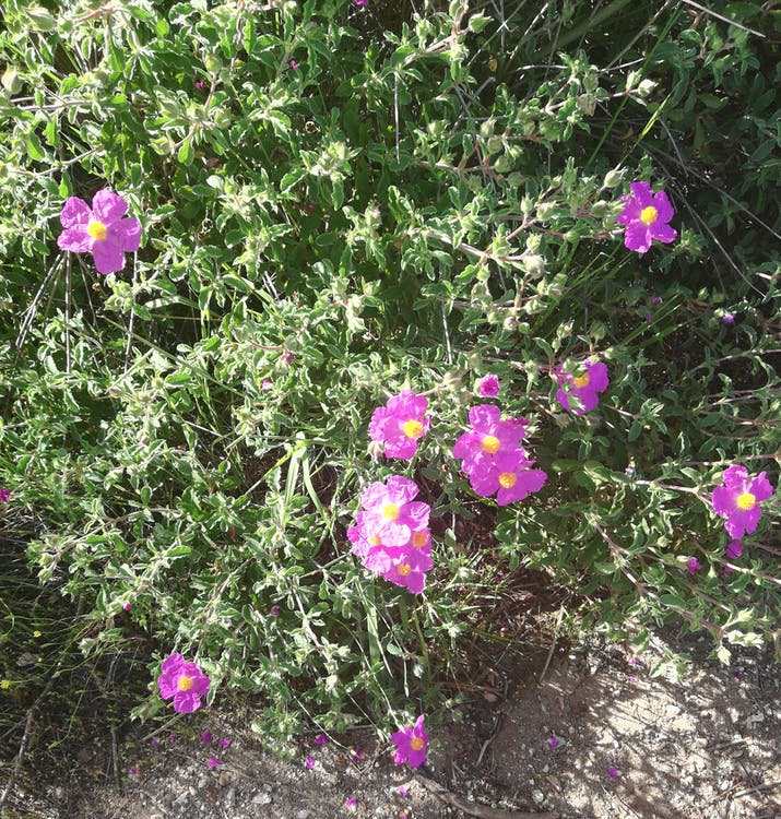 lila blommor, natur, skön
