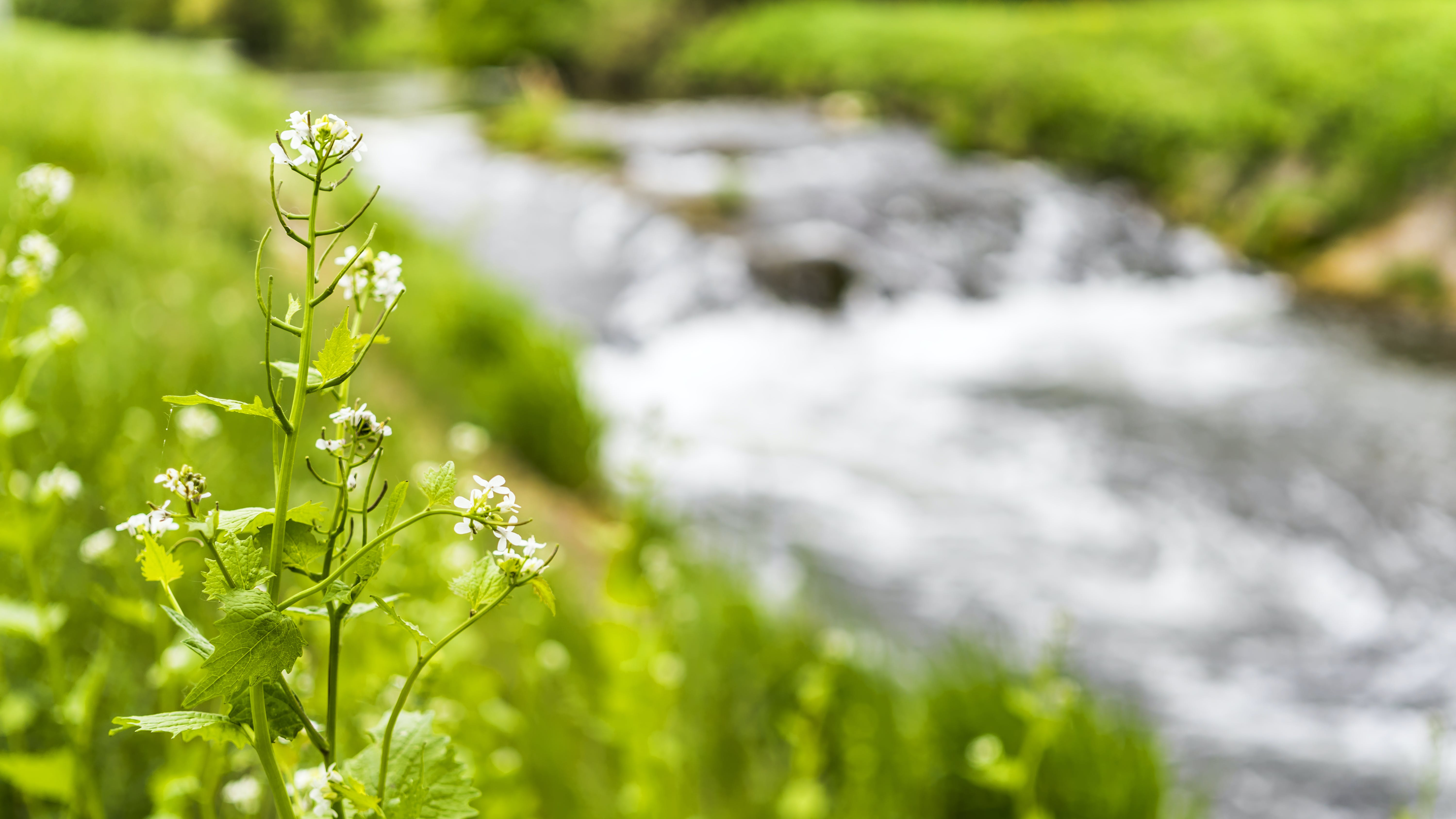 White Petaled Flowers Near the River Graphic Wallpaper