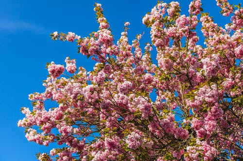 Pink Blossoms Under Blue Sky