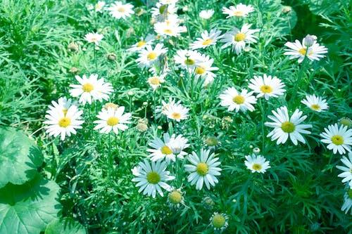 夏天, 田, 白色, 白色雛菊 的 免费素材照片