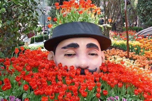 Photos gratuites de champ de tulipes, chapeau, conservatoire
