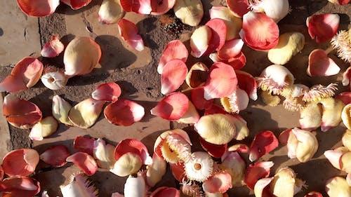 Ingyenes stockfotó bukott szirmok, cannon ball flower, cannon ball flower szirmok, szirmok a földön témában