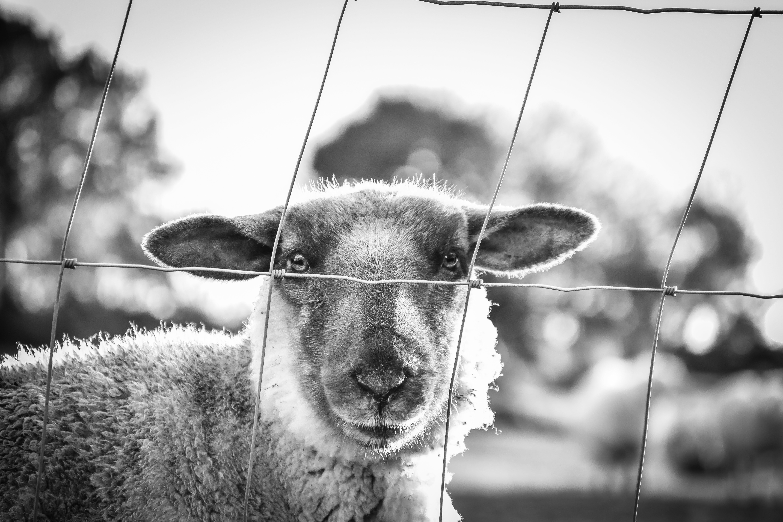 Free stock photo of black and white, detail, eyes, sheep
