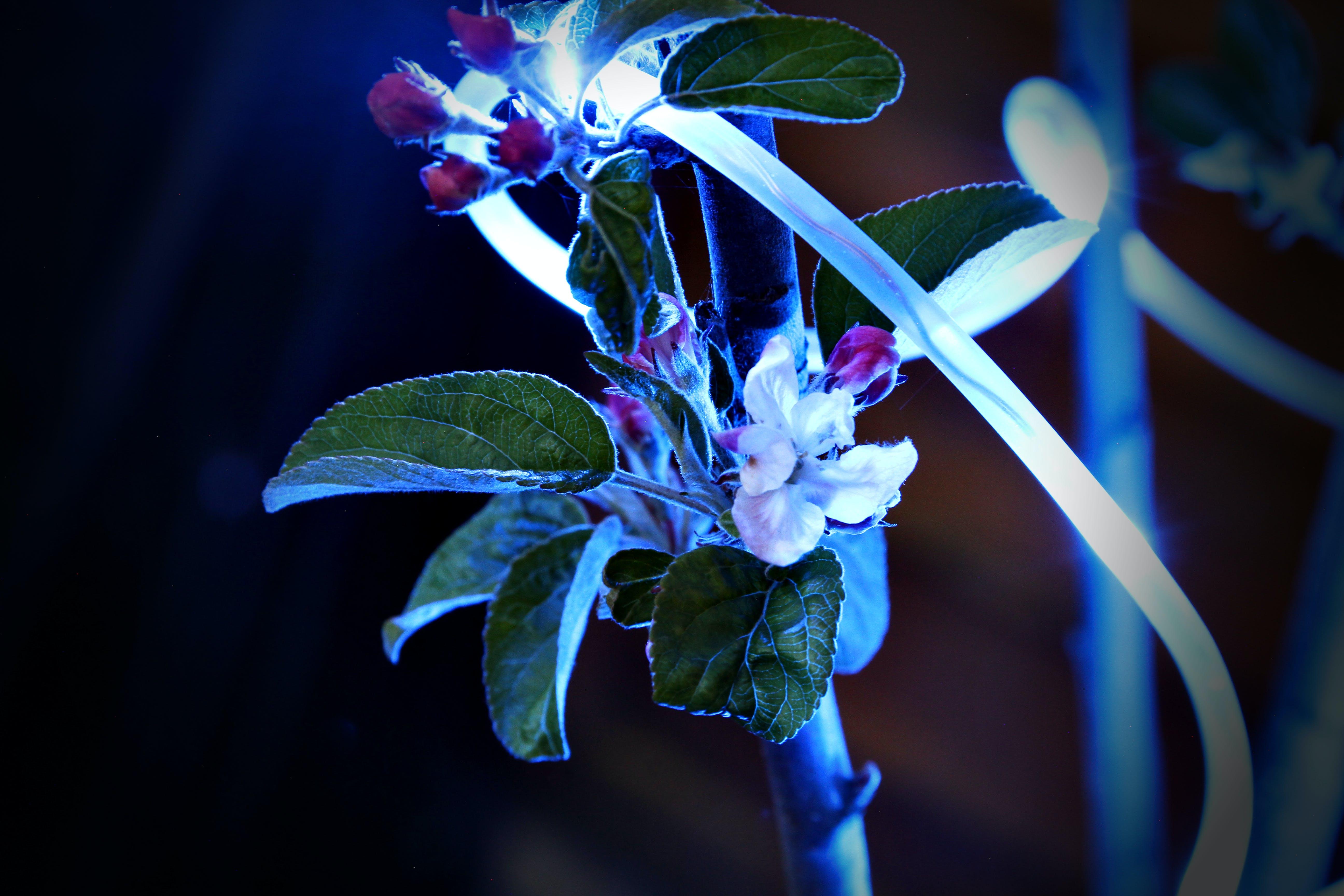 Free stock photo of apple blossom
