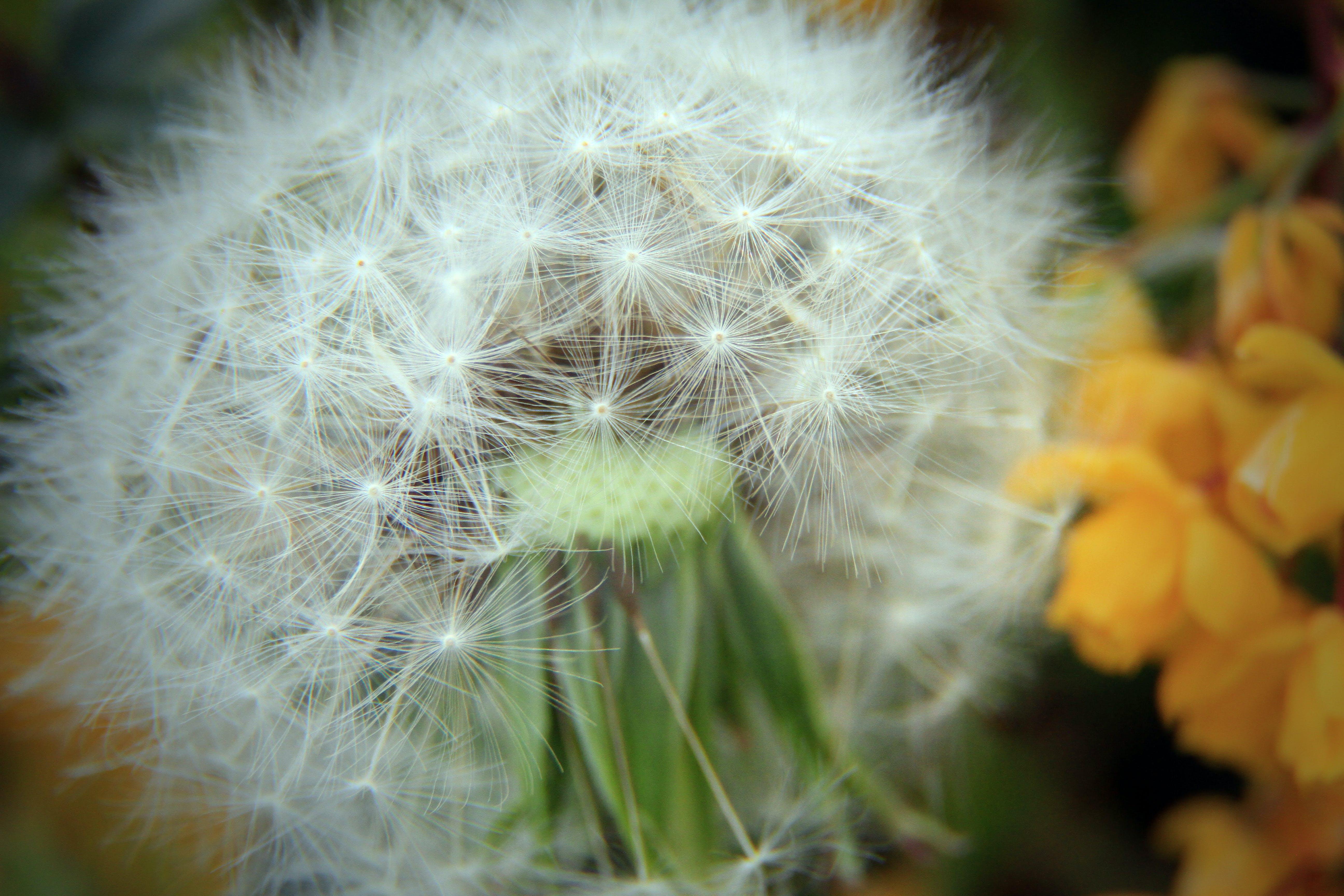 Tilt Shift Photography of White Dandelion
