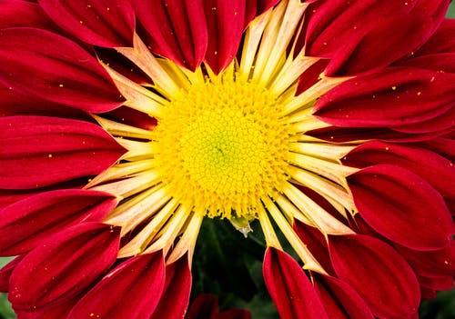 Red and Yellow Zinnia Flower in Macro Photo