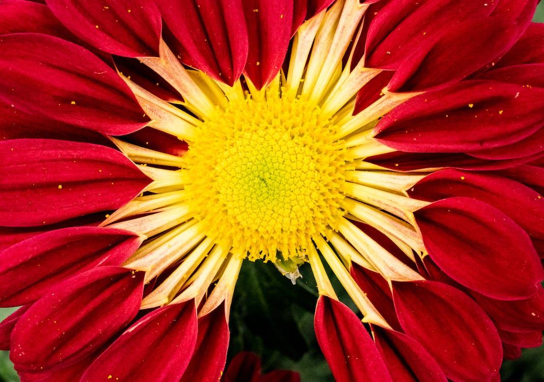Red and Yellow Zinnia Flower in Macro Photo