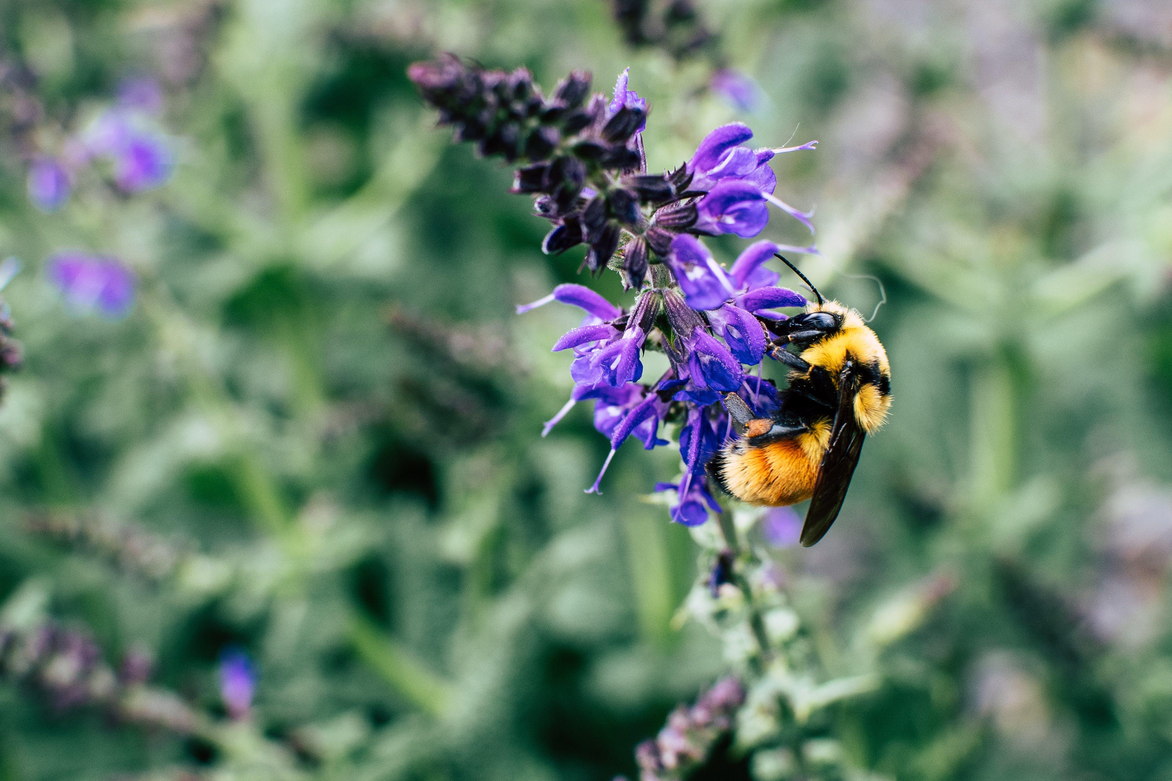 Macro Shot Of Black and Yellow Bee On Purple Flower