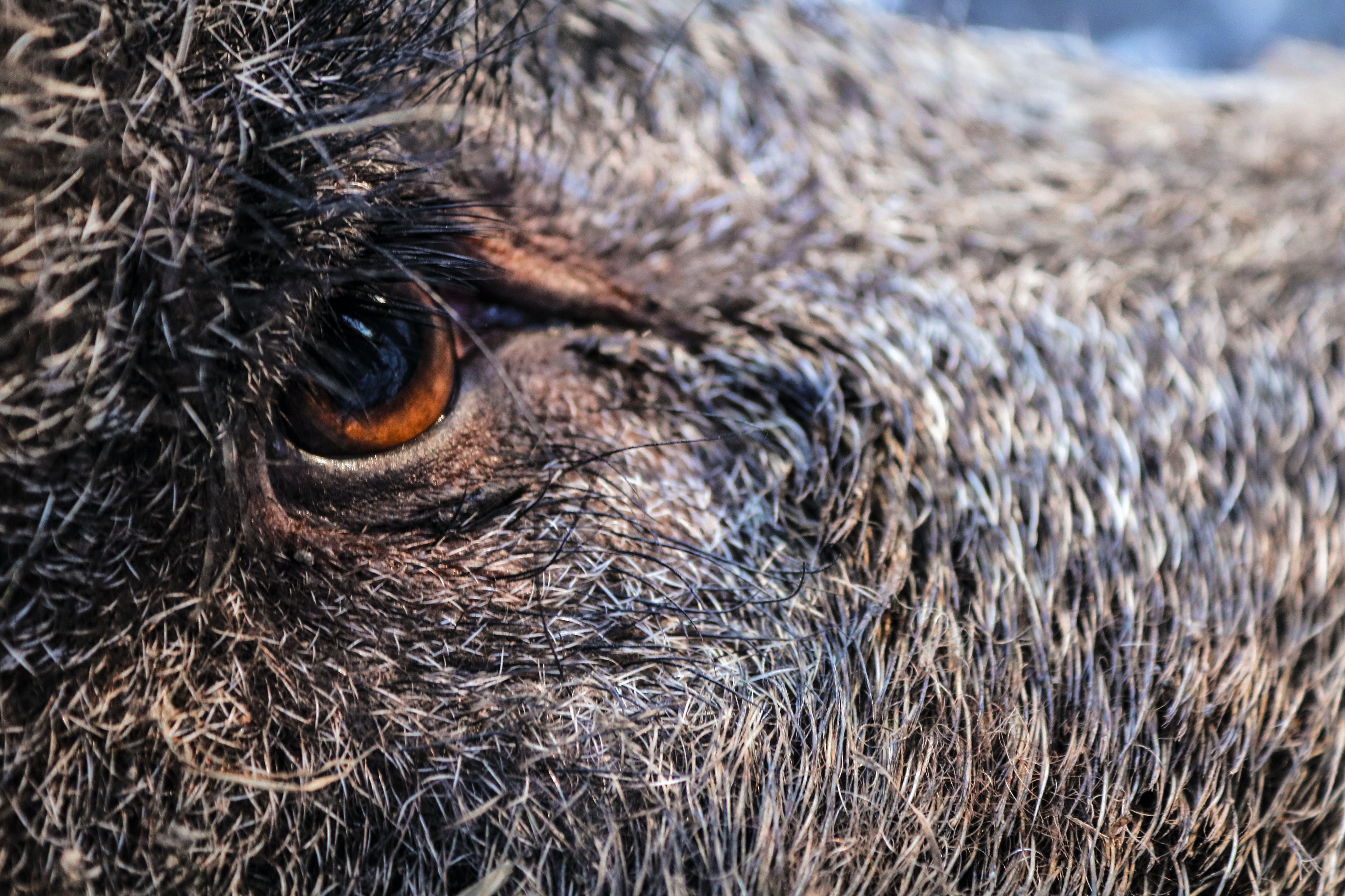 Darmowe zdjęcie z galerii z dziki, fotografia zwierzęcia, futro, oko
