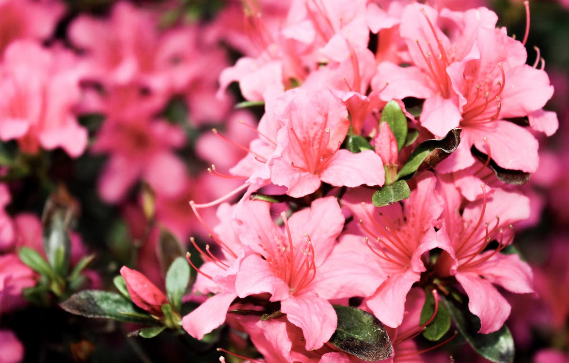Flacher Fokus Fotografie Von Rosa Blütenblättern