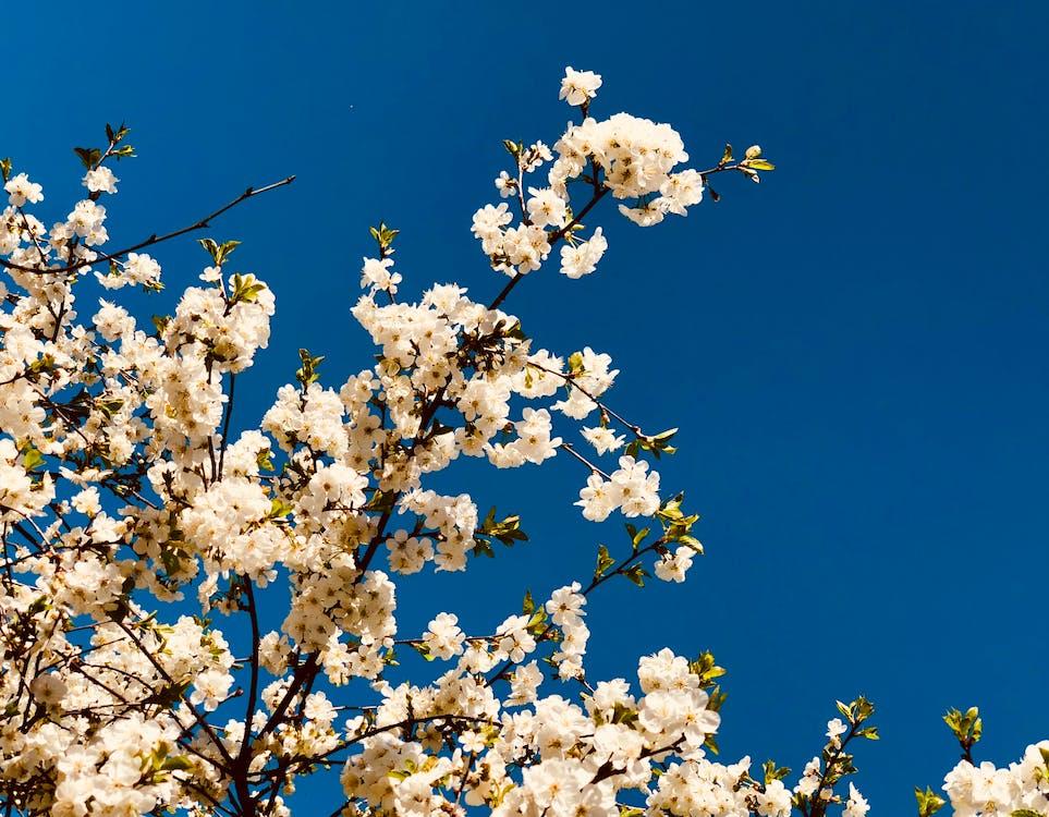 White Flowered Trees