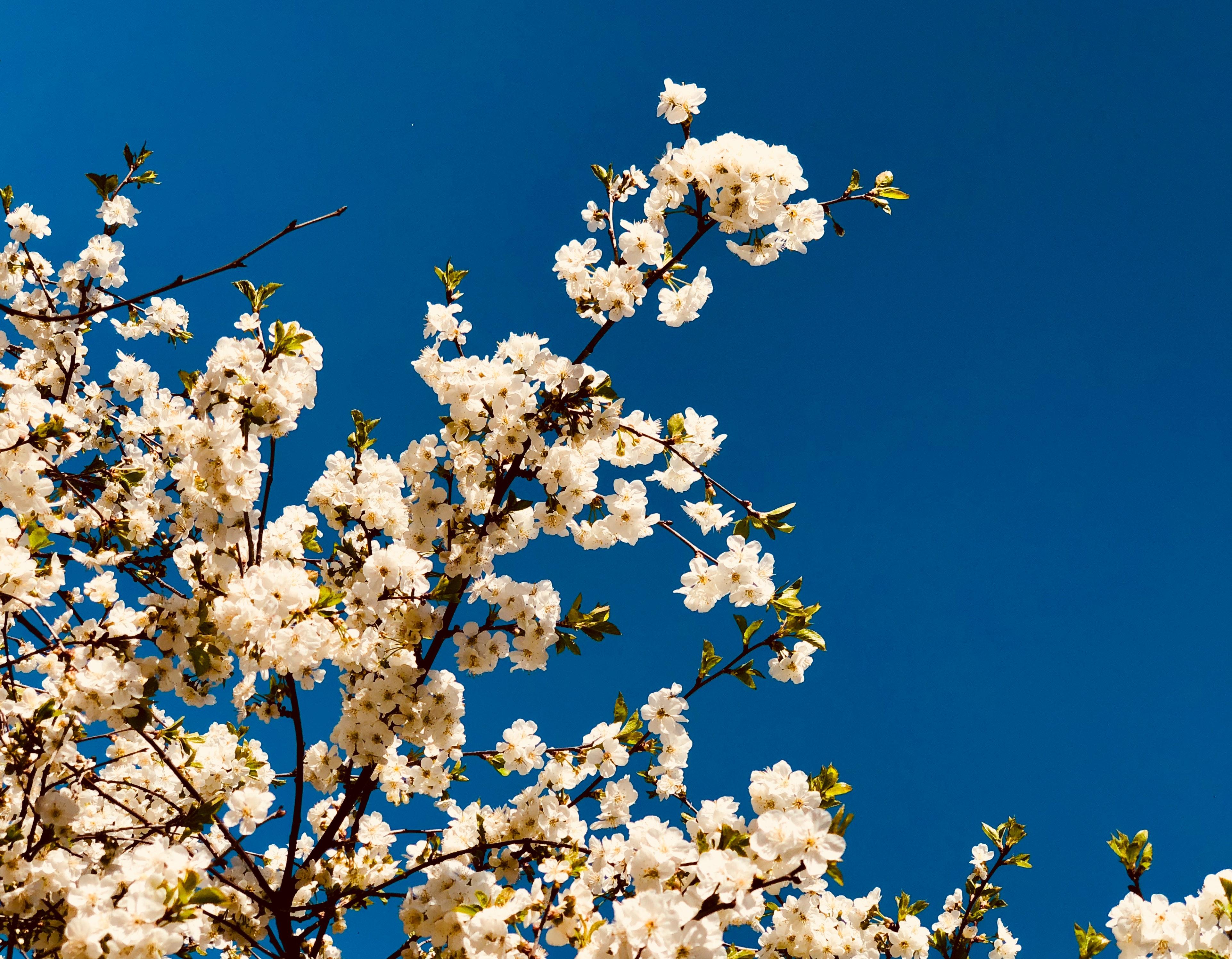 White Flowered Trees Free Stock Photo