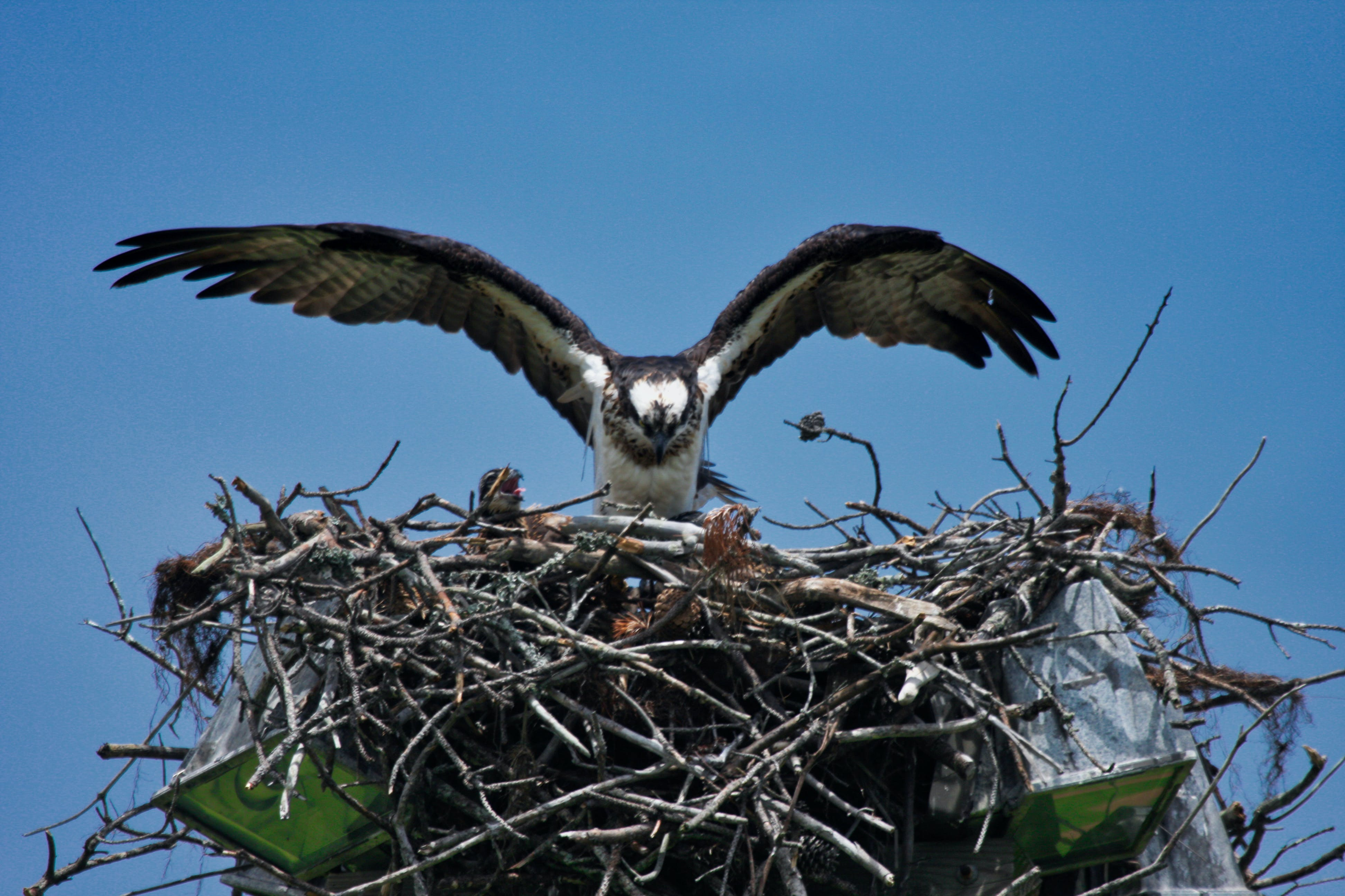 Free stock photo of osprey, Osprey and chick, Osprey on Nest