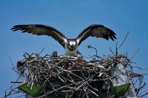 在巢上的鱼鹰, 鱼鹰, 鱼鹰和小鸡 的 免费素材照片